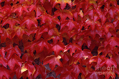 Photograph - Autumn Leaves Vine Maple by Jim Corwin