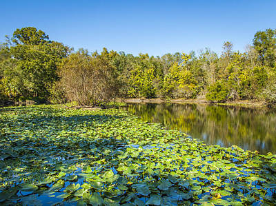 Photograph - Autumn Lily Pads by Carolyn Marshall