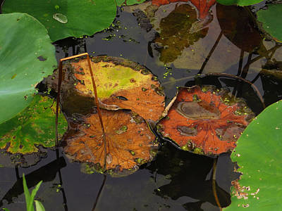 Photograph - Autumn Lotus Leaves by Shawna Rowe