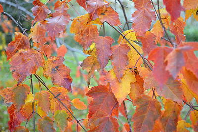 Photograph - Autumn Maple by Bonfire Photography