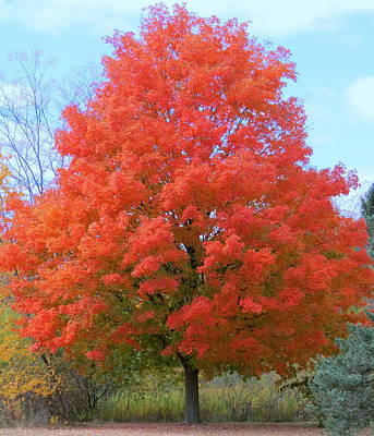 Photograph - Autumn Maple by Kay Novy