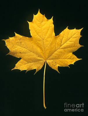 Photograph - Autumn Maple Leaf by Kaj R. Svensson