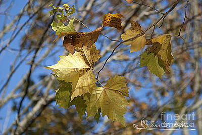 Photograph - Autumn Maple Leaves 20121020_28 by Tina Hopkins