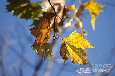 Photograph - Autumn Maple Leaves 20121020_30 by Tina Hopkins