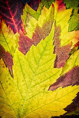 Garden Photograph - Autumn Maple Leaves by Adam Romanowicz