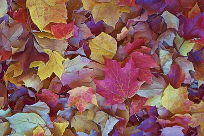 Photograph - Autumn Maple Leaves On Forest Floor by Gregory Scott