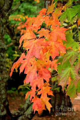 Chinese Red Maple Tree Photograph - Autumn Maple Leaves by Reid Callaway
