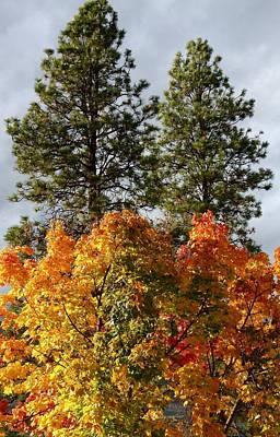 Autumn Maple With Pines Art Print