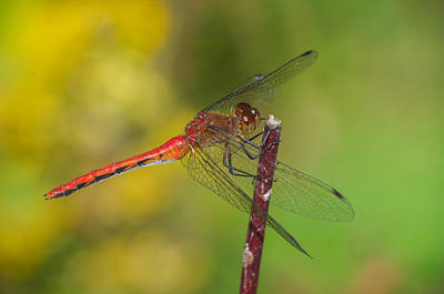 Photograph - Autumn Meadowhawk by Jim Zablotny