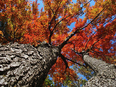 Photograph - Autumn Nature Maple Trees by Christina Rollo