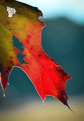 Photograph - Autumn Oak Leaf by Amy Porter