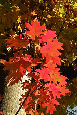 Photograph - Autumn Oak Leaves by Brian Chase