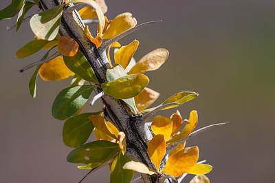 Photograph - Autumn Ocotillo by Beverly Parks