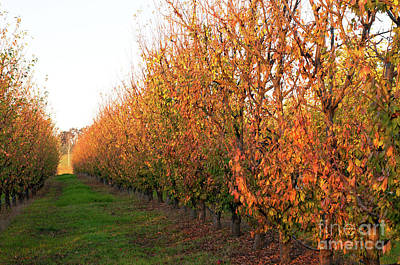Photograph - Autumn Orchard by Rick Piper Photography
