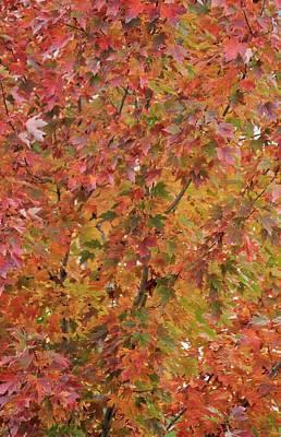 Photograph - Autumn Paints A Tree 2 by Diane Alexander
