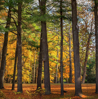 Litchfield County Landscapes Photograph - Autumn Pines Square by Bill Wakeley