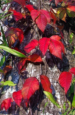 Photograph - Autumn Poison Ivy by Judi Bagwell