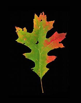 Photograph - Autumn Red Oak Leaf 1 by Joe Duket