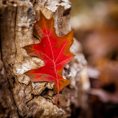 Photograph - Autumn Red Oak Leaf by Melinda Ledsome