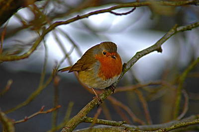 Bird Photograph - Autumn Robin by Kathy Spall