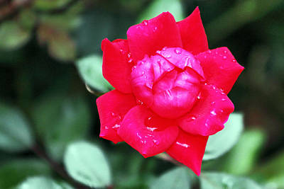 Photograph - Autumn Rose After The Rain by Simply  Photos