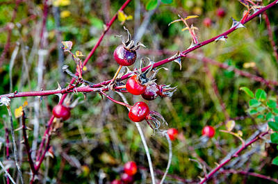 Photograph - Autumn Rose Hips by Roxy Hurtubise