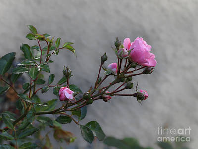 Photograph - Autumn Rose by Lutz Baar