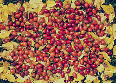 Seedpods Photograph - Autumn Rosehips  by Tim Gainey