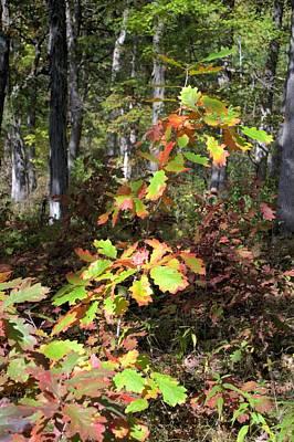 Photograph - Autumn Sapling by Bonfire Photography