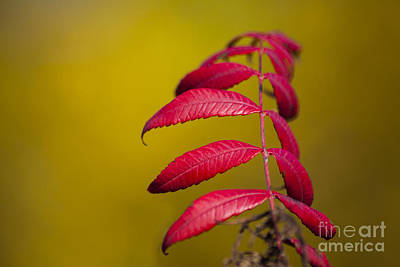 Lebanon Photograph - Autumn Sumac by Wayne Moran