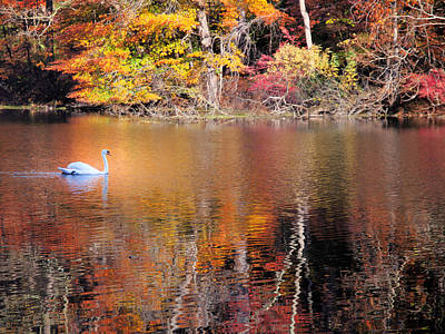Photograph - Autumn Swan by Jim DeLillo