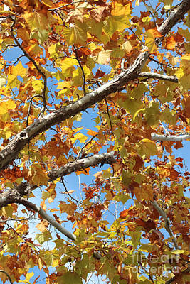 Photograph - Autumn Sycamore Leaves by Carol Groenen