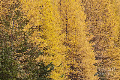 Photograph - Autumn Tamaracks by Alan L Graham