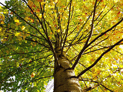 Photograph - Autumn Tree Canopy by Shawna Rowe