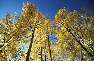 Autumn Tree Trunks In The Usa Art Print