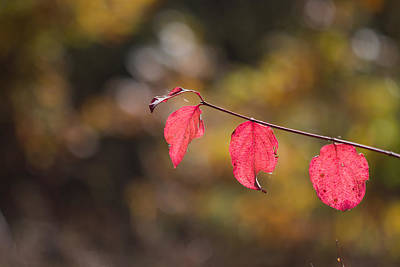 Art Print featuring the photograph Autumn Twig With Red Leaves by Jivko Nakev