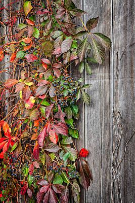 New England Farm Photograph - Autumn Vine by Bill Wakeley