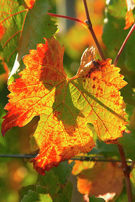 Grape Leaves Photograph - Autumn Vine Leaf, Vineyard by David Wall