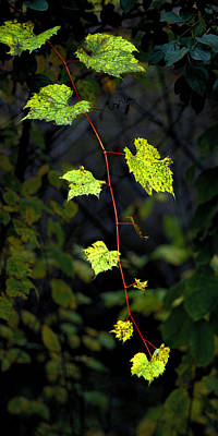 Photograph - Autumn Vine by Michael Moschogianis