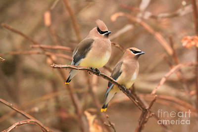 Photograph - Autumn Waxwings by Heidi Hermes