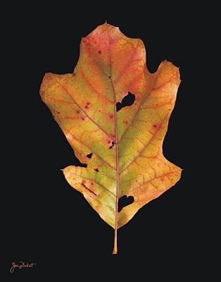Photograph - Autumn White Oak Leaf by Joe Duket