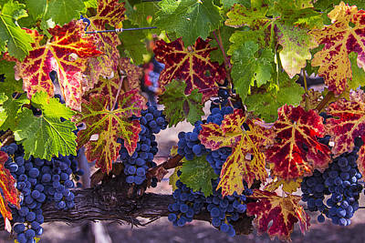 Grape Leaves Photograph - Autumn Wine Grape Harvest by Garry Gay