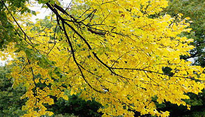 Photograph - Autumn Yellow -nature Photography  by Ann Powell
