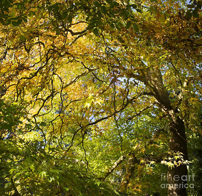 Photograph - Autumnal Oriental Plane Tree by Tim Gainey