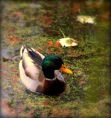 Of Autumn Photograph - Autumns Mallard by Karen Wiles
