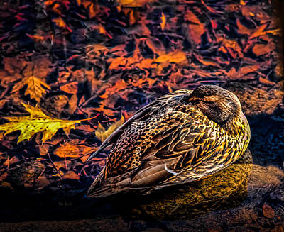 Framed Inspirational Wildlife Photograph - Autumns Sleepy Duck by Bob Orsillo