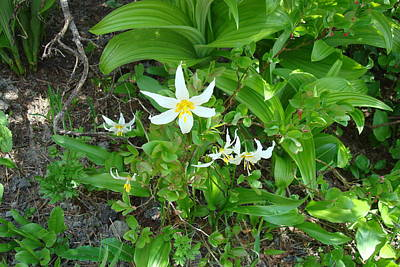 Photograph - Avalanche Lily by Susan Woodward