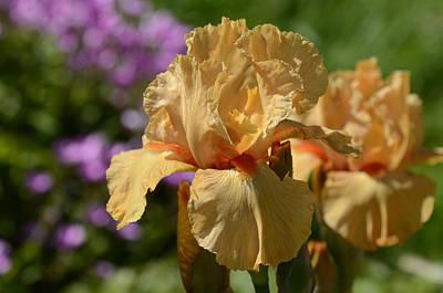 Avalon Sunset Bearded Iris  Art Print