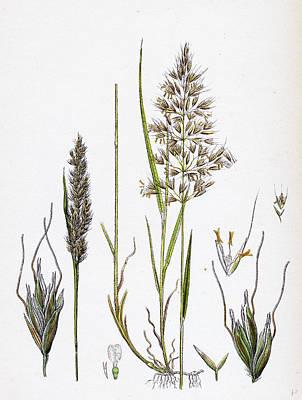 Avena Flavescens Yellow Oat-grass Art Print