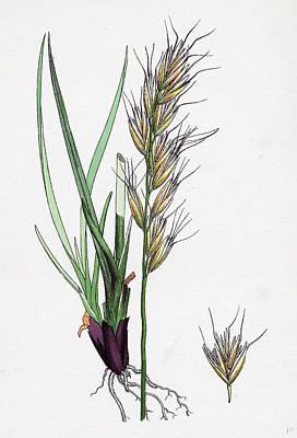 Avena Pratensis Var. Alpina Glabrous Oat-grass Var Art Print